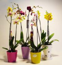 Orquídeas phalaenopsis en vaso cerámico. Rebolledo Floristas. Santander, Cantabria