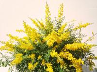 Genista (arbusto que inicia su floración a finales de invierno)