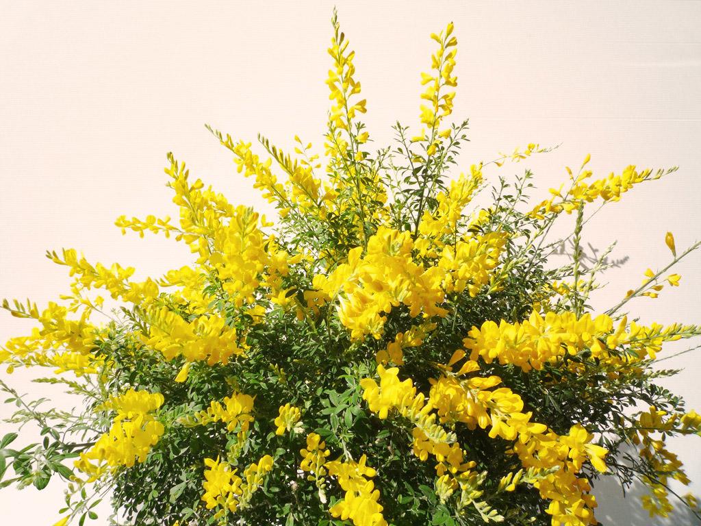 Plantas de exterior rebolledo floristas - Arbustos perennes con flor ...