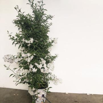 Solanum jazminoides-Rebolledo Floristas