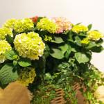 Cesta de mimbre con hortensias variadas-detalle3-Rebolledo floristas